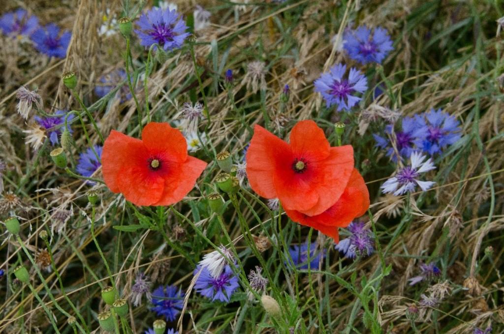 Flerårige blomsterstriper er av særlig økologisk verdi. De gir mat, habitat og ly for insekter, fugler og små pattedyr. Et annet enkelt, men effektivt tiltak kan være å ikke dekke til kantsonene med bark eller strø. Dette fremmer veksten av løvetann – en viktig næringsplante for villbier. Foto: Morten Günther