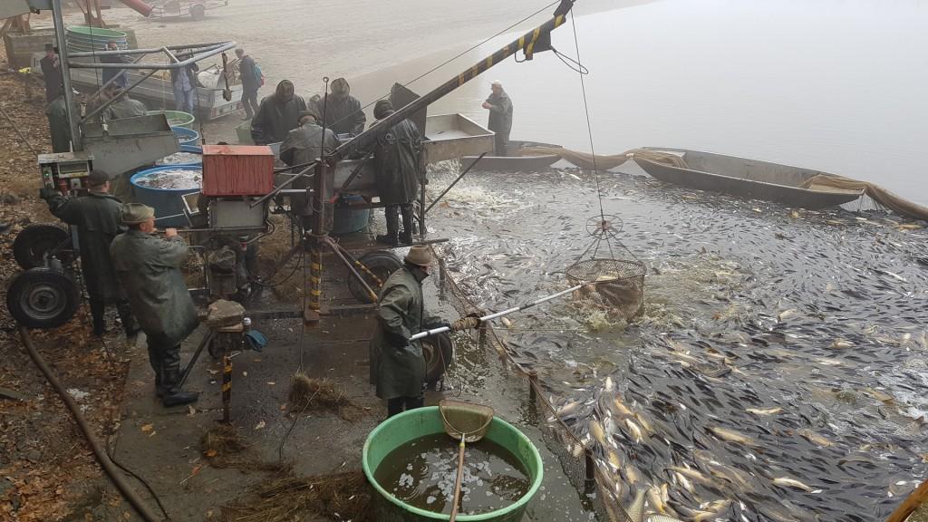 Høsting av karpe ved fiskedammen Borek rybnik, Lhotka, Olešnice, sørvest i Tsjekkia. Foto: Morten Günther